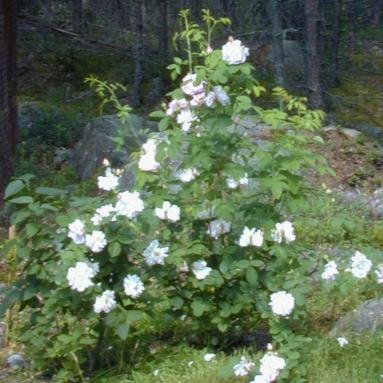 Rosa (Alba-Gruppen) 'Amelia'
