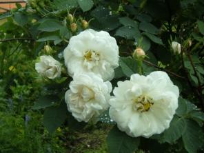 Rosa (Alba-gruppen) 'Princesse de Lamballe'