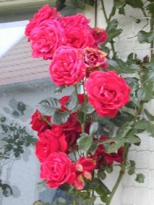 Rosa (Kordesii-Gruppen) 'Sympathie'