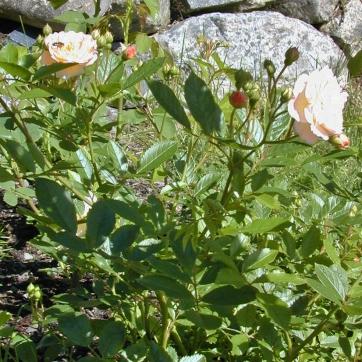 Rosa (Moschata-Gruppen) 'Ghislaine de Féligonde'