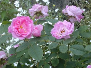 Rosa villosa 'Hurdalsrosen'