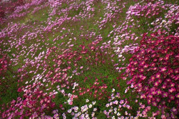 Saxifraga (arendsii-gruppen) - rosenbräcka