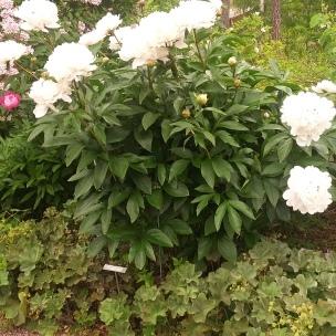 Paeonia lactiflora '?'