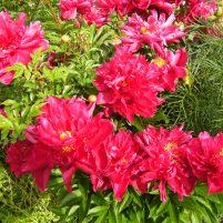 Paeonia lactiflora eventuellt 'Karl Rosenfield'