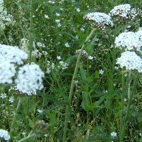 Achillea millefolium - röllika