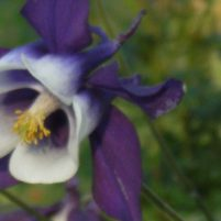 Aquilegia - akleja (släktet)
