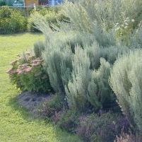 Artemisia pontica och Thymus serpyllum-romersk malört och timjan
