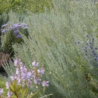 Artemisia pontica, Physostegia virginiana och Echinops ritro-romersk malört, drakmynta och blå el rysk martorn bolltistel
