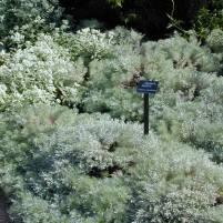 Artemisia schmidtiana-krypmalört