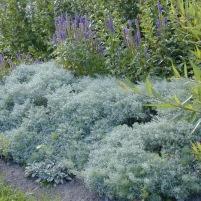 Artemisia schmidtiana 'Nana' och Veronica incana 'Blauresin'