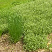 Cerastium tomentosum - silverarv