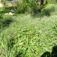 Cerastium tomentosum - silverarv o Fragaria vesca 'Rügen' - smultron