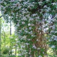 Clematis (Atragene-Gruppen) 'Rosy O'Grady' äldre namn: Clematis macropetale 'Rosy O´Grady'