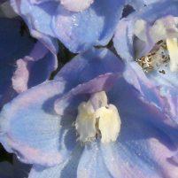 Delphinum - Riddarsporre (släktet)