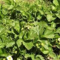 Fragaria x ananassa troligen sorterna 'Bounty', 'Polka' och ev 'Snöboll' - Jordgubbar