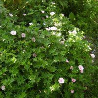 Geranium sanguineum 'Vision Pink'