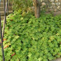 Geranium cantabrigiense 'Biokovo' - flocknäva troligen.