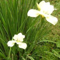 Iris ospec.
