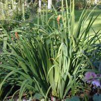 Iris pseudoacorus - svärdslilja