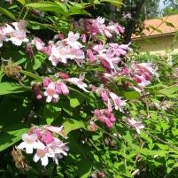 Kolkwitzia amabilis - paradisbuske