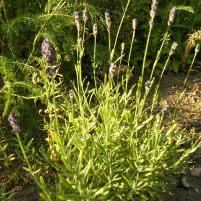Lavandula angustifolia -lavendel
