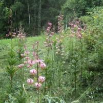 Lilium martagon - krollilja (martagon lily)