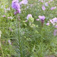 Malva alcea - Rosenmalva o Liatris spicata - rosenstav