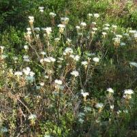 Rhododendron tomentosum - skvattram, getpors (marsh tea, wild rosemary). Vetenskapligt namn är Ledum palustre.