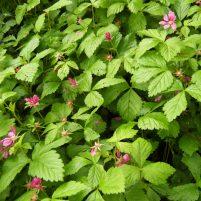 Rubus arcticus ssp. x stellarcticus - Allåkerbär