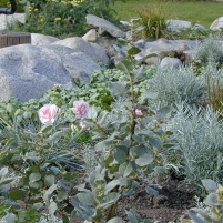 Salix lanata 'Arno'- ullvide och fjädernejlika och curry .. (får kolla vad den hette...)