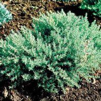 Thymus vulgaris - kryddtimjan
