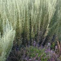 Thymus vulgaris-trädgårdstimjan, Artemisia pontica-romersk malört