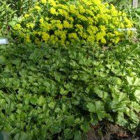 Waldsteinia ternata - waldstenia, gullgröna